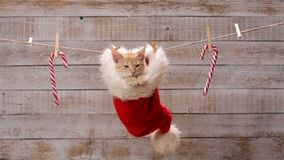 Cute ginger cat sitting in a santa hat, looking around and relaxing stock footage