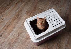 Cute ginger cat sitting in a top-entry litter box and looking curious up to the camera. High angle view with copy space royalty free stock photography