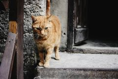 Cute ginger cat standing at wooden door on the background of eur stock photo