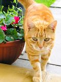 Cute ginger cat, walking in home. royalty free stock photos