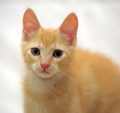 Cute ginger kitten Royalty Free Stock Photo