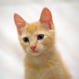 Cute ginger kitten Royalty Free Stock Photos