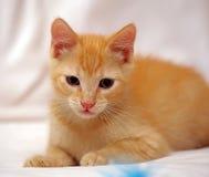 Cute ginger kitten Stock Images