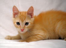 Cute ginger kitten Stock Photos