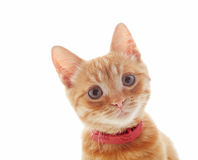 Cute ginger kitten Stock Image