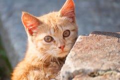 Cute Ginger Kitten. Portrait of Cute Ginger Kitten Outdoors stock image