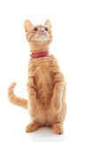 Cute ginger kitten Royalty Free Stock Images