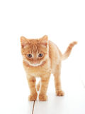 Cute ginger kitten Royalty Free Stock Photo