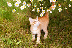 Cute ginger kitty in garden Royalty Free Stock Images