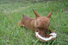 Free Cute Ginger Little Dog With Coconut Royalty Free Stock Photos - 100150458