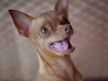 Cute ginger mini pinscher Stock Images