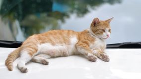 Cute ginger tabby cat lying down on white car and looking around alertly, focused on its eyes, 4K footage, slow motion stock footage