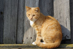 Cute ginger tabby cat Royalty Free Stock Photos