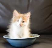 Cute ginger and white kitten Stock Images