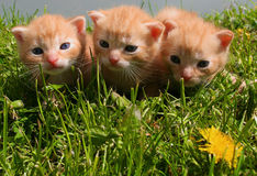 Cute gingery kittens. In the grass royalty free stock image