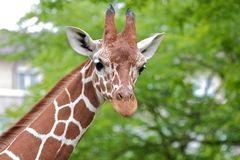 Cute Giraffe 1. Cute giraffe walking past trees looking in the camera Royalty Free Stock Image