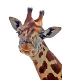 Cute Giraffe. Looking at Camera, isolated on white Background Royalty Free Stock Images