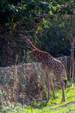 Cute giraffe close up. Portrait with trees in backround Royalty Free Stock Photo