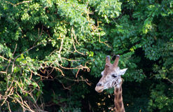 Cute giraffe close up. Portrait with trees in backround Stock Images