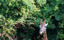 Cute giraffe close up. Portrait with trees in backround Stock Photo