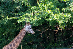 Cute giraffe close up. Portrait with trees in backround Royalty Free Stock Photography
