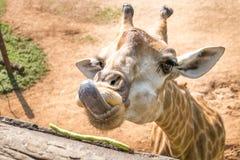 Cute giraffe. Close up shot of young cute giraffe Royalty Free Stock Photos