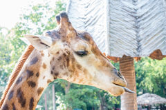 Cute giraffe. Close up shot of young cute giraffe Stock Images