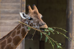 Cute giraffe eating. Funny cute spotted giraffe eating tree branch Royalty Free Stock Photography