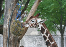 Cute Giraffe feeding at the zoo. Cute Giraffe eating dried grass from a hanged food basket at the zoo Royalty Free Stock Photography