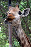 Cute giraffe. Have a breakfast in the zoo Stock Photos