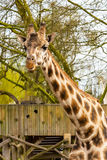 Cute giraffe head with curious chewing look. Nice cute Giraffe head with curious chewing look Royalty Free Stock Photos