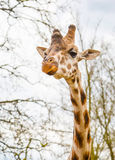 Cute giraffe head with curious chewing look Stock Photos