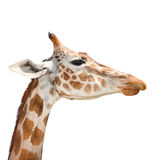 Cute giraffe isolated on white background. Funny giraffe head isolated. The giraffe is tallest and largest living animal in zoo. royalty free stock photography