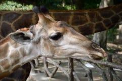 Cute giraffe in nature garden. Close up cute giraffe in nature garden Royalty Free Stock Photo