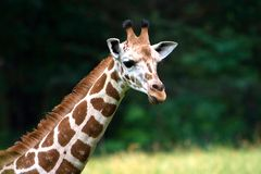 Cute Giraffe neck and face. A Giraffe's long neck and head on a blurry green grass field background stock images