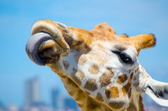 Cute giraffe put on one`s tongue in close-up. A beautiful Cute giraffe put on one`s tongue in close-up Stock Photography