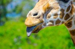 Cute giraffe put on one`s tongue in close-up. A beautiful Cute giraffe put on one`s tongue in close-up Royalty Free Stock Photography