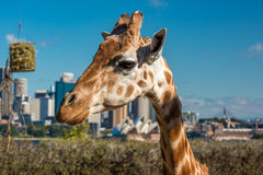 Cute giraffe with Sydney Opera House and Sydney CBD view. Sydney, Australia - July 23, 2016: Cute giraffe against iconic view of Sydney Opera House and Sydney Royalty Free Stock Images