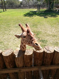 Cute giraffe. Waiting for feeding at the zoo Royalty Free Stock Images