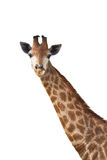 Cute giraffe Royalty Free Stock Photography
