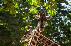 Cute giraffes among green trees Royalty Free Stock Photos