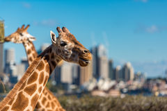 Cute Giraffes at Taronga Zoo with views of Sydney Harbour. Sydney, Australia - July 23, 2016: Cute Giraffes at Taronga Zoo with awesome views of Sydney Harbour Royalty Free Stock Photos