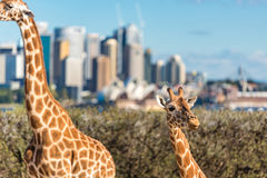 Cute Giraffes at Taronga Zoo with views of Sydney Harbour Royalty Free Stock Photography