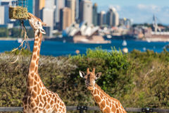 Cute Giraffes at Taronga Zoo with views of Sydney Harbour. Sydney, Australia - July 23, 2016: Cute Giraffes at Taronga Zoo with awesome views of Sydney Harbour Stock Photography