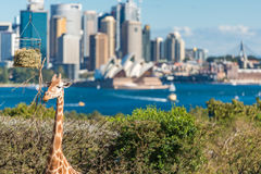 Cute Giraffes at Taronga Zoo with views of Sydney Harbour. Sydney, Australia - July 23, 2016: Cute Giraffes at Taronga Zoo with awesome views of Sydney Harbour Stock Image