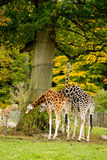 Cute giraffes in zoo Stock Images