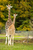 Cute giraffes in zoo Royalty Free Stock Images
