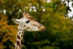 Cute giraffes in zoo Royalty Free Stock Photos
