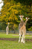 Cute giraffes in zoo Stock Photo