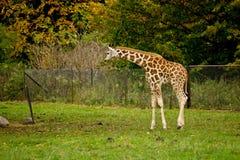 Cute giraffes in zoo Royalty Free Stock Image